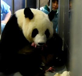 20160629naissance panda
